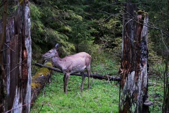 A reindeer just in front of me #MorskieOko #TatraNationalPark #Carpathians #Poland