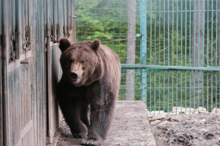 I went to visit a brown bear rehabilitation center in Synevyr. Circus bears who were abused (e.g. they had to walk on fire to learn 'dancing'), got the time here to rehabilitate. The rehabilitation is in 3 stages. The first one in cages, the second one in a small encaged area en the third one in a big (encaged) wood. Unfortunately, they can barely survive in the real wilderness #Ukraine