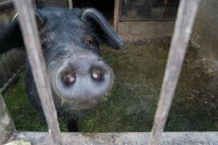 Their black pigs, treated like family members #Romania