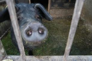 Their black pigs, treated like family members #Romania
