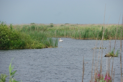 Pelicans don't like you, when you have dogs as friends #Danube Delta #Romania