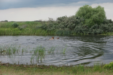 Bulls swimming for their life. They are amazingly fast (check the movie below) #Danube Delta #Romania