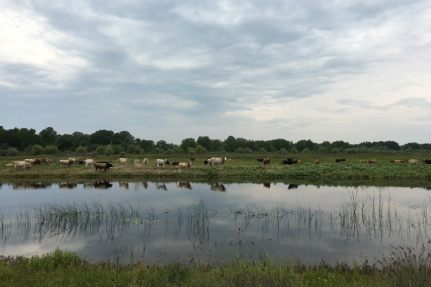 Bulls to catch #Danube Delta #Romania