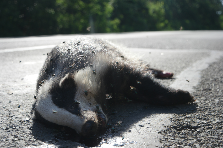 Way too many dead animals on the road. This one, was the most exceptional #badger #Bulgaria