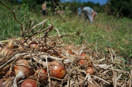 Who needs onions? #NarköyOrganicFarm #Kerpe #Turkey