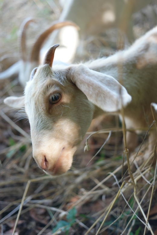 Meet Beyaz (means: White) the female baby goat #NarköyOrganicFarm #Kerpe #Turkey