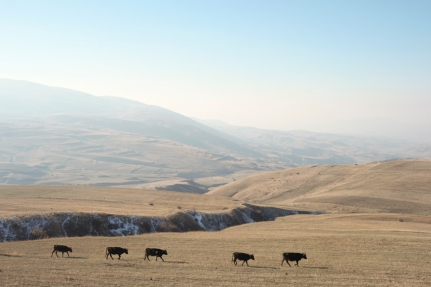 Not only cows in Georgia and Azerbaijan #Armenia