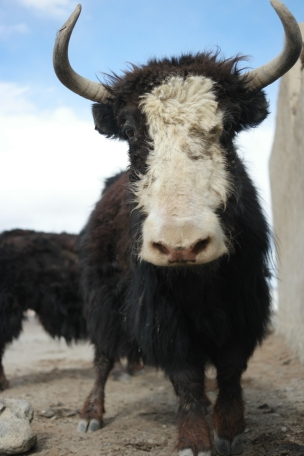 Shy but curious and sooo impressive. My God, how I like those animals #yak #tajikistan